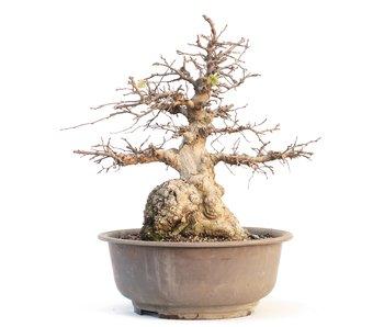 Carpinus coreana, 35 cm, ± 55 ans
