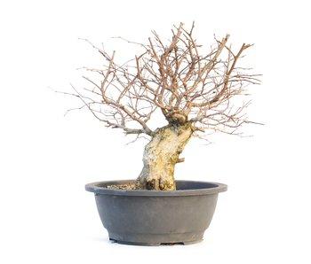 Carpinus coreana, 32 cm, ± 30 anni