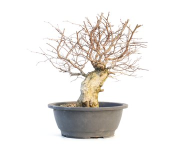 Carpinus coreana, 32 cm, ± 30 ans