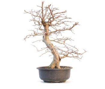 Carpinus coreana, 50 cm, ± 25 años
