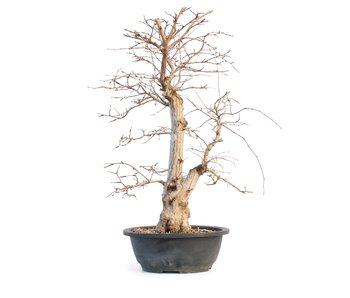 Carpinus coreana, 48 cm, ± 25 Jahre alt