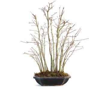Acer palmatum, 37 cm, ± 5 Jahre alt