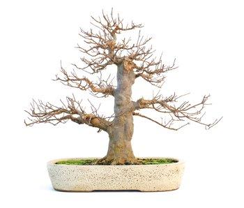 Acer buergerianum, 46 cm, ± 35 ans