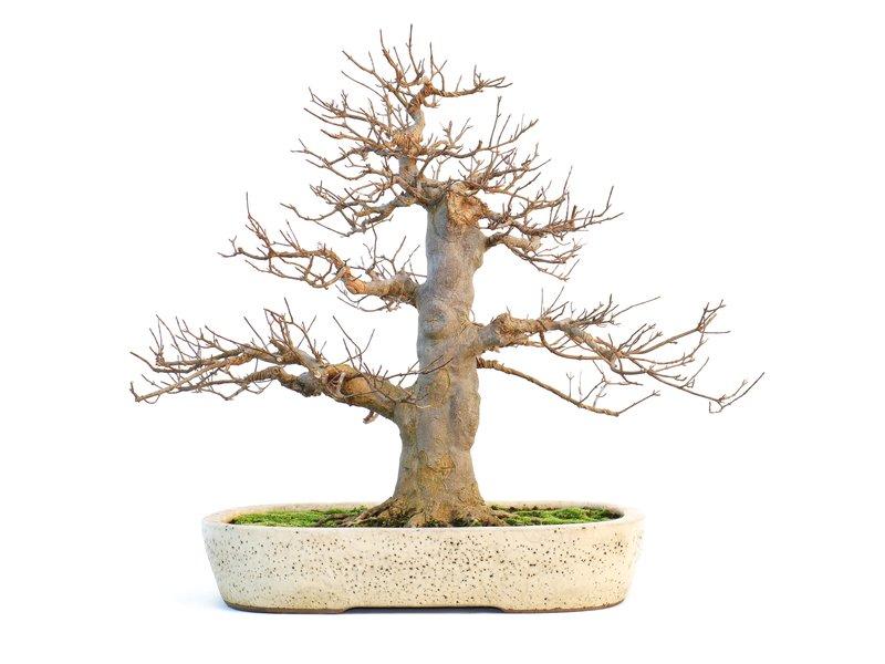 Acer buergerianum, 46 cm, ± 35 jaar oud, in Tosui pot