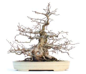 Carpinus coreana, 28 cm, ± 55 anni