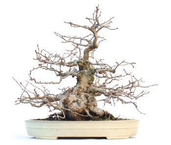 Carpinus coreana, 28 cm, ± 55 años