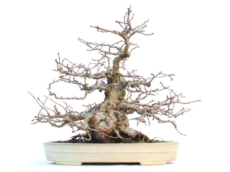 Carpinus coreana, 28 cm, ± 55 jaar oud, in Japanse handgemaakte Yamafusa pot