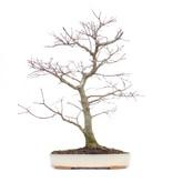 Acer palmatum, 46 cm, ± 22 jaar oud