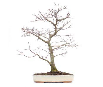 Acer palmatum, 46 cm, ± 22 anni