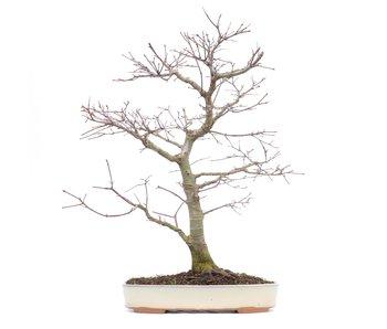 Acer palmatum, 46 cm, ± 22 years old