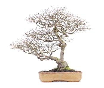 Acer palmatum, 50 cm, ± 40 anni