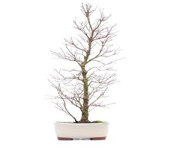 Acer palmatum, 58 cm, ± 18 anni