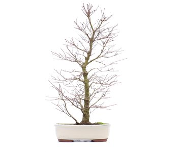 Acer palmatum, 58 cm, ± 18 years old
