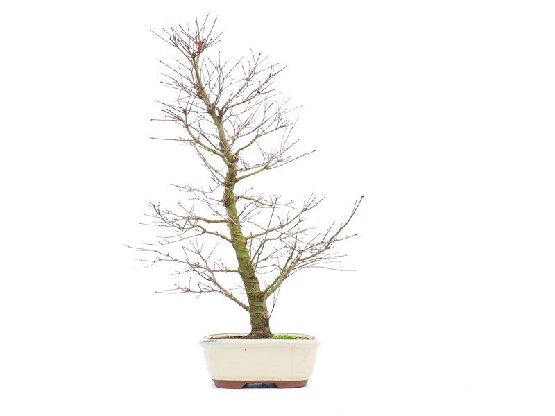Acer palmatum, 58 cm, ± 18 jaar oud, in een kapotte pot, met een mooie nebari van 13 cm