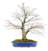 Acer palmatum, 44 cm, ± 35 jaar oud