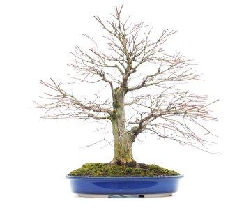Acer palmatum, 44 cm, ± 35 anni