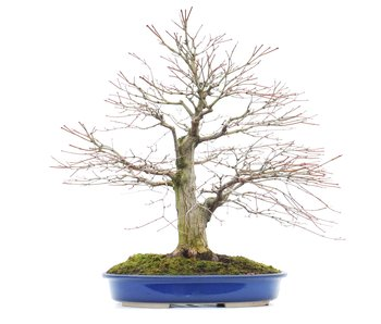 Acer palmatum, 44 cm, ± 35 years old