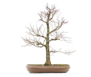 Acer palmatum, 55 cm, ± 18 anni