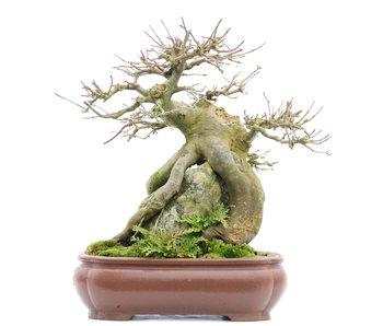 Acer buergerianum, 29 cm, ± 25 años