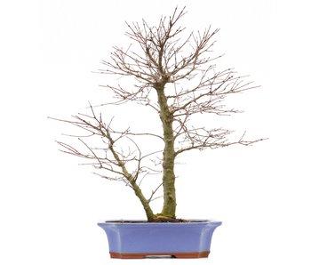 Acer palmatum, 46 cm, ± 18 anni