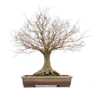 Zelkova serrata, 46 cm, ± 40 años