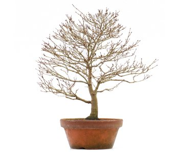 Acer palmatum, 37 cm, ± 35 anni