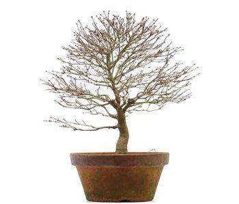 Acer palmatum, 35 cm, ± 35 anni