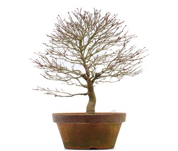 Acer palmatum, 35 cm, ± 35 years old