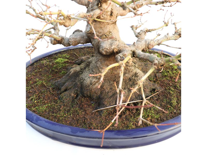 Acer palmatum, 33 cm, ± 40 jaar oud, met een uitzonderlijk mooie nebari van 21 cm, goede vertakking en mooie versmalling in een handgemaakte Japanse Yamafusa pot