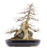 Acer buergerianum, 34 cm, ± 35 jaar oud