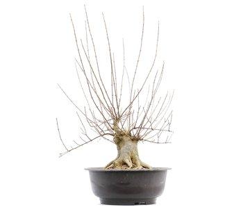 Acer buergerianum, 64 cm, ± 20 años