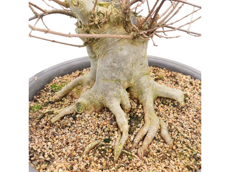 Acer buergerianum, 64 cm, ± 20 years old