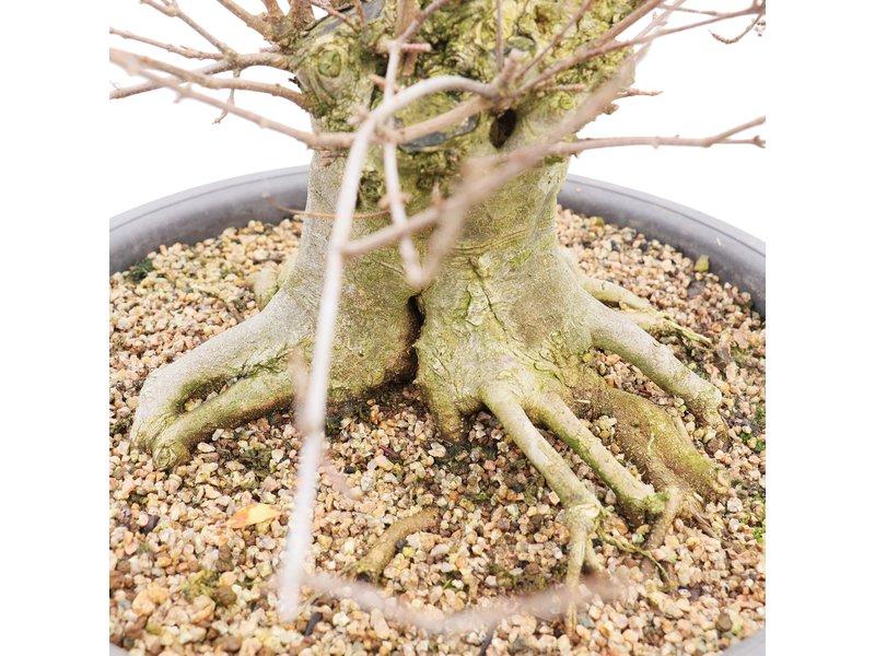 Acer buergerianum, 64 cm, ± 20 jaar oud