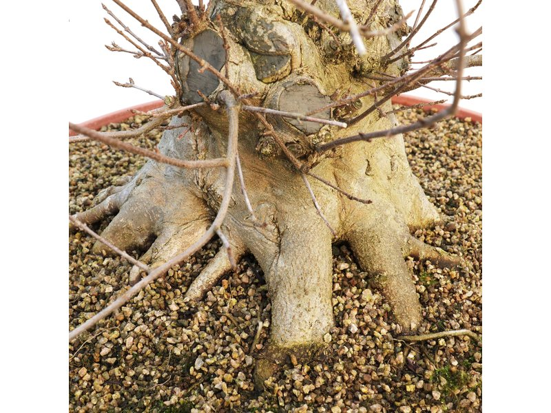Acer buergerianum, 72 cm, ± 25 jaar oud