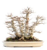 Acer buergerianum, 38 cm, ± 40 jaar oud, van ouderdom in een handgemaakte Japanse Reihou pot, met een wortelvoet van 40 cm