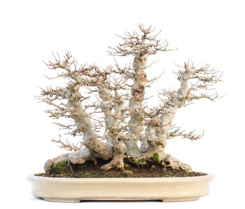 Acer buergerianum, 38 cm, ± 40 years old