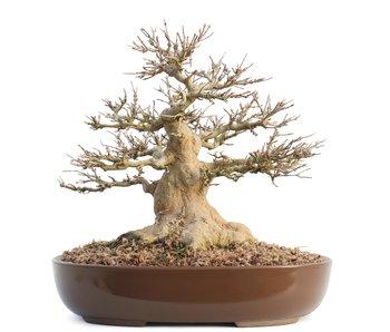 Acer buergerianum, 28 cm, ± 30 jaar oud
