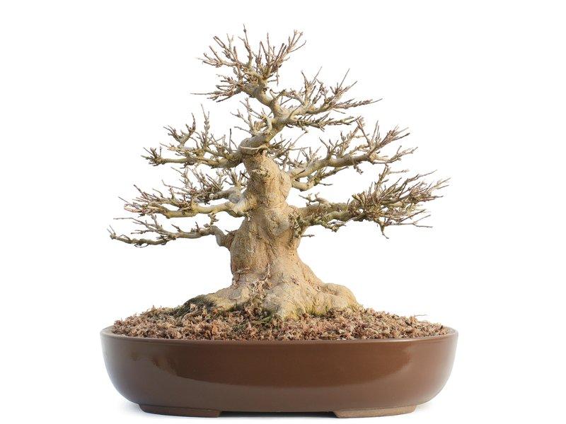 Acer buergerianum, 28 cm, ± 30 jaar oud, Met nebari van 170 mm