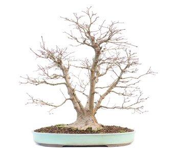 Acer palmatum, 59 cm, ± 30 years old
