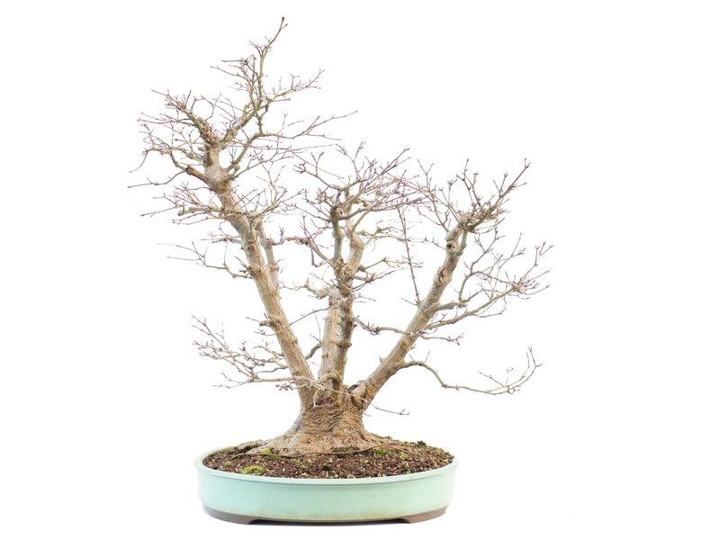 Acer palmatum, 59 cm, ± 30 jaar oud