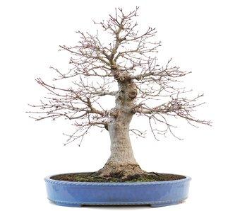 Acer palmatum, 49 cm, ± 30 jaar oud