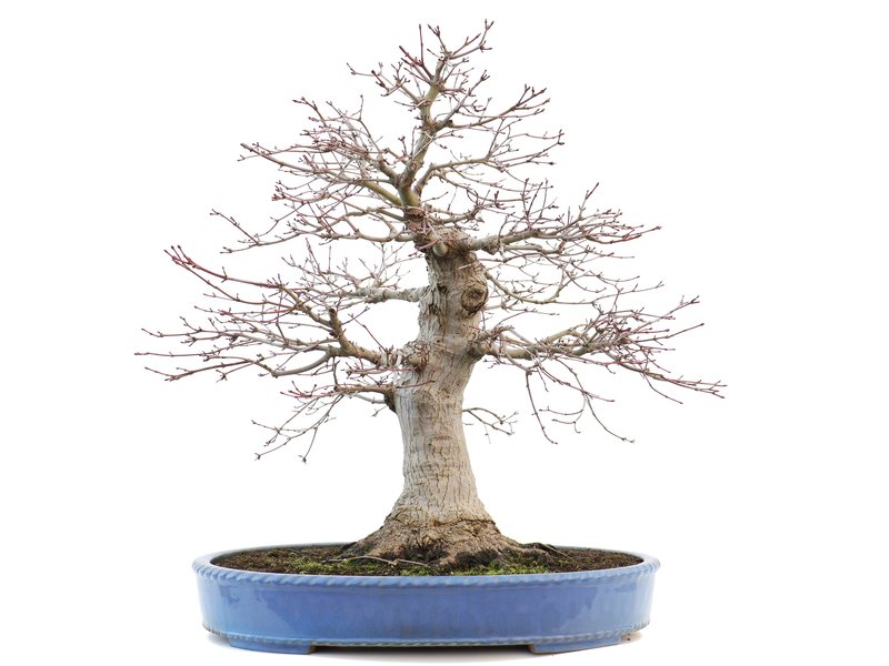 Acer palmatum, 49 cm, ± 30 years old, in a handmade Japanese pot with a nebari of 140 mm