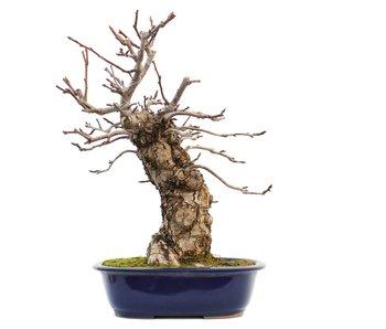 Pyrus pyrifolia, 46 cm, ± 20 jaar oud