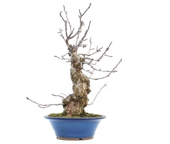 Pyrus pyrifolia, 60 cm, ± 20 jaar oud