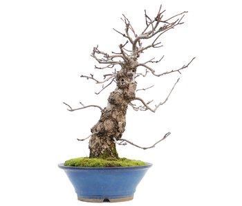 Pyrus pyrifolia, 53 cm, ± 20 jaar oud