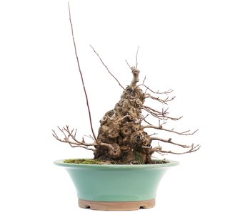 Malus siboldii, 39 cm, ± 20 jaar oud