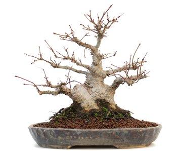 Acer palmatum, 20 cm, ± 20 jaar oud
