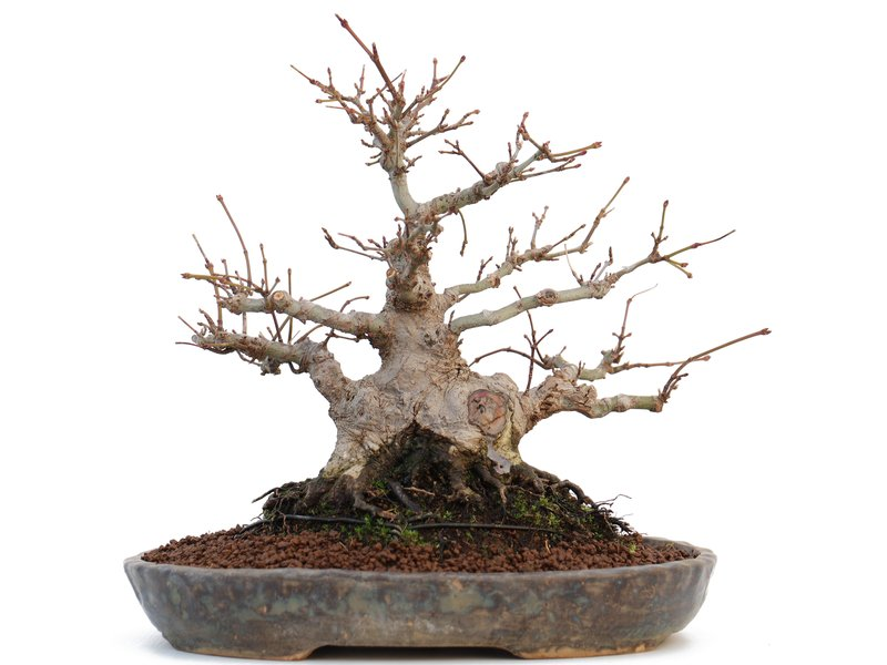 Acer palmatum, 20 cm, ± 20 jaar oud, met een goede basis voor shohin en in een Japanse handgemaakte pot