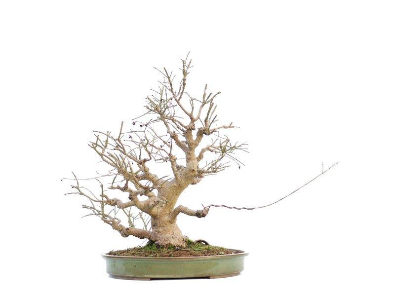 Euonymus alatus, 51 cm, ± 15 jaar oud