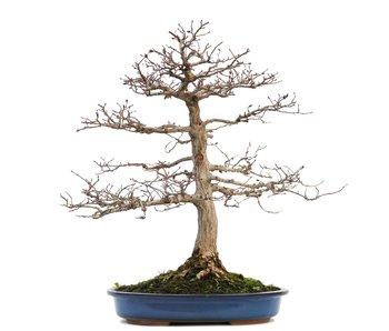 Carpinus coreana, 43 cm, ± 30 jaar oud